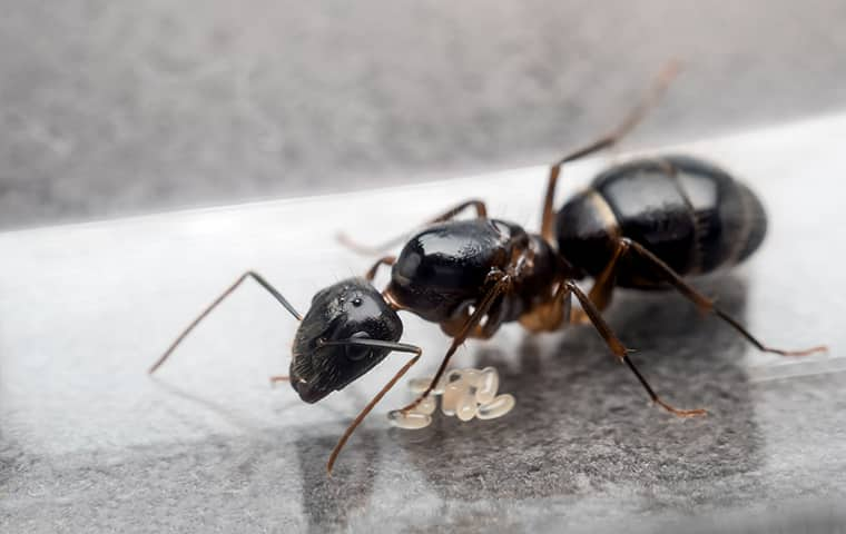 close up view of a black ant on a kitchen counter