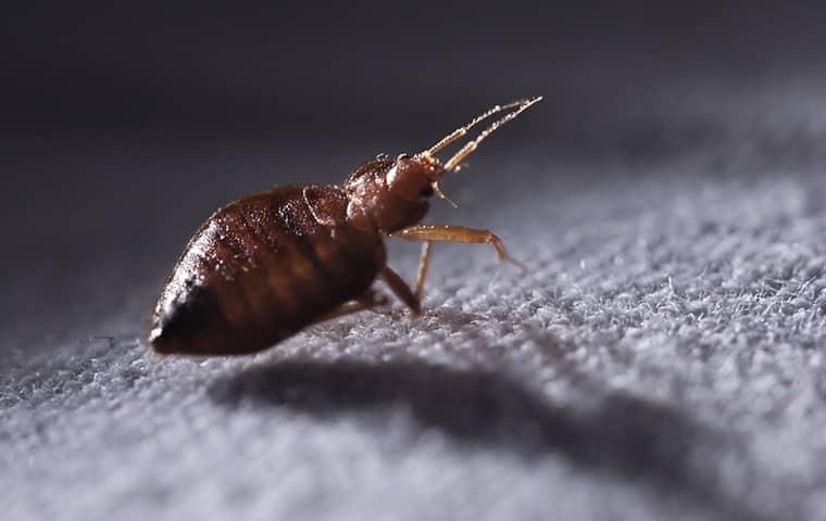a bedbug in durham north carolina