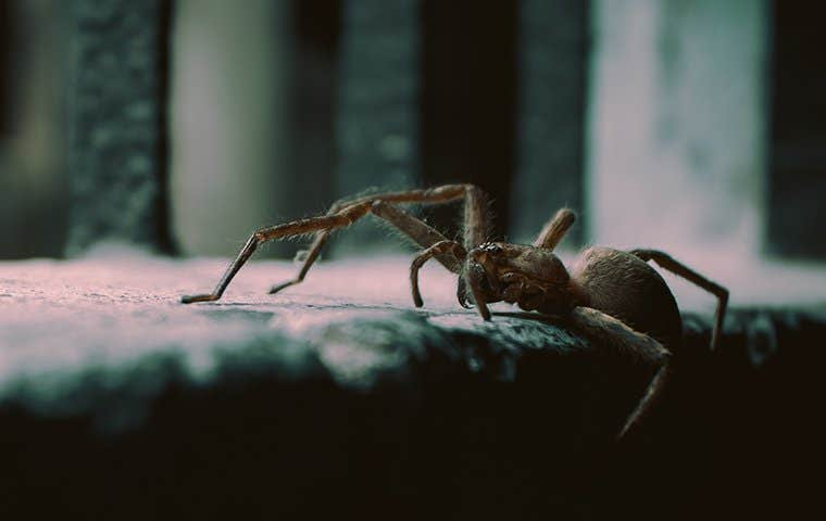 a house spider crawling