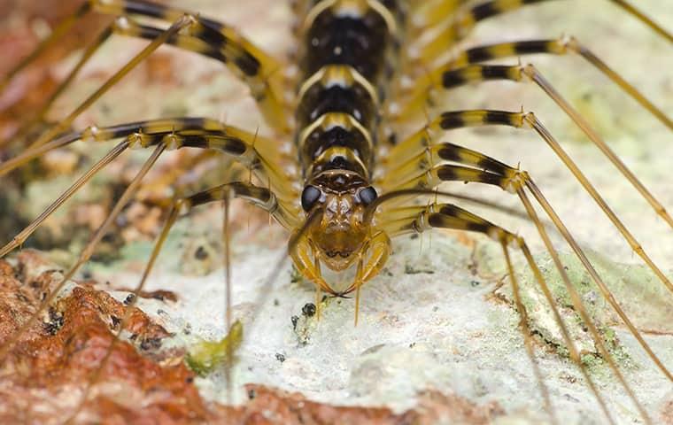 a house centipede up close