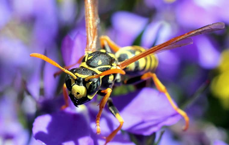wasp on a purple flower