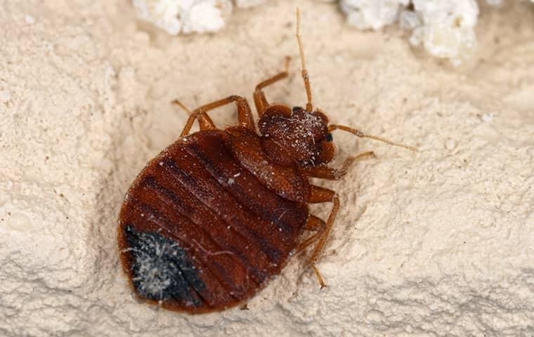 a bedbug in seabrook texas