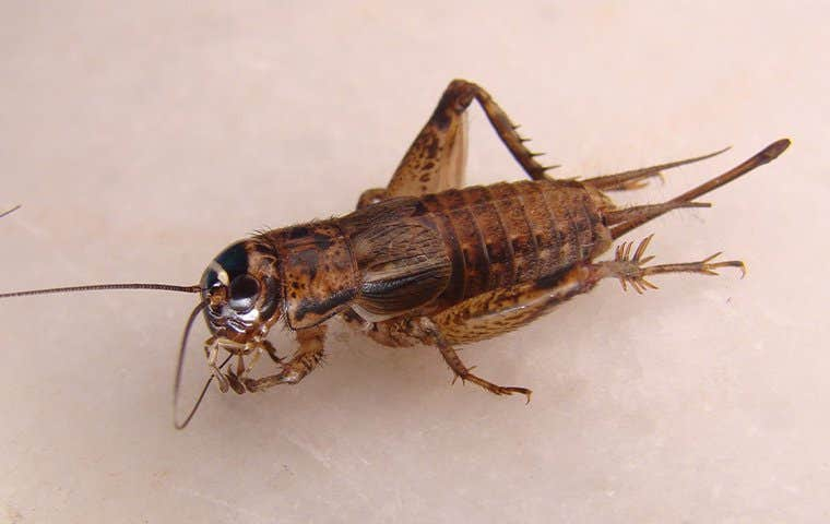 a cricket in seabrook texas