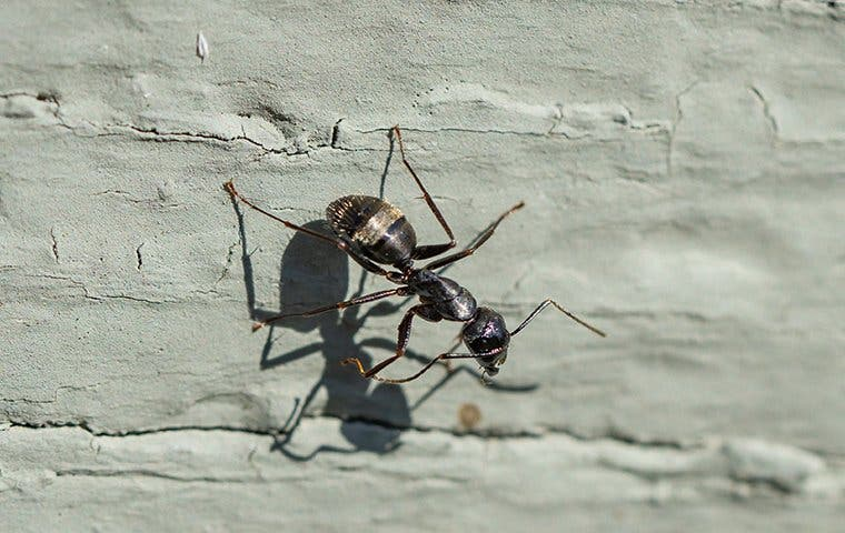 a carpenter ant on a wall