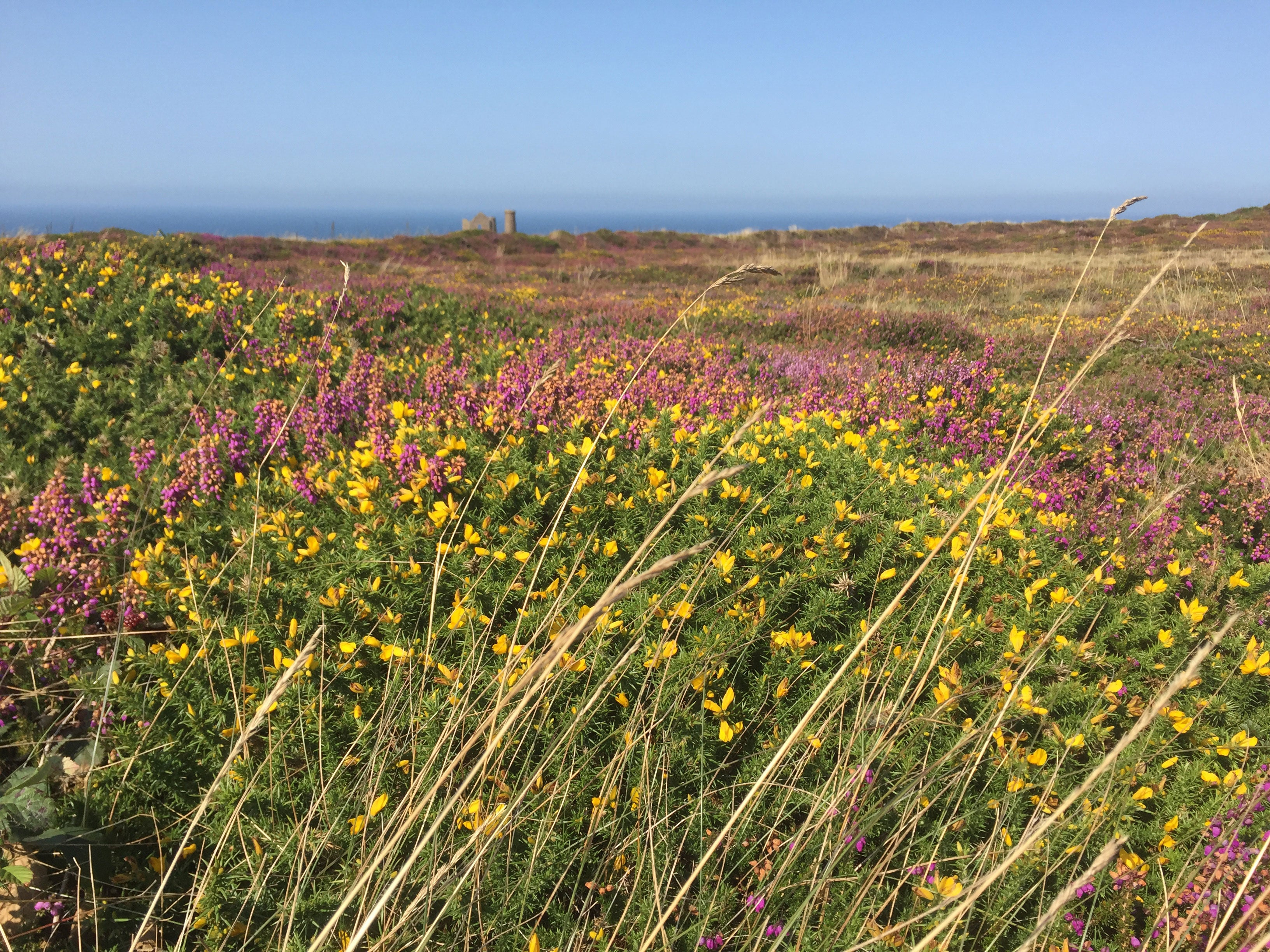 >Distant Cornish tin mine amongst the heather