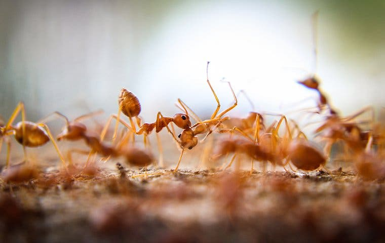 a fire ant swarm