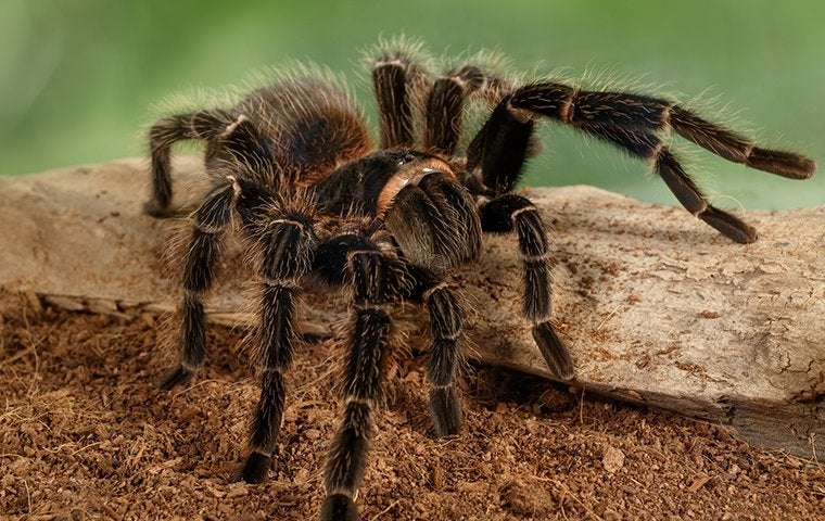 a big hairy tarantula