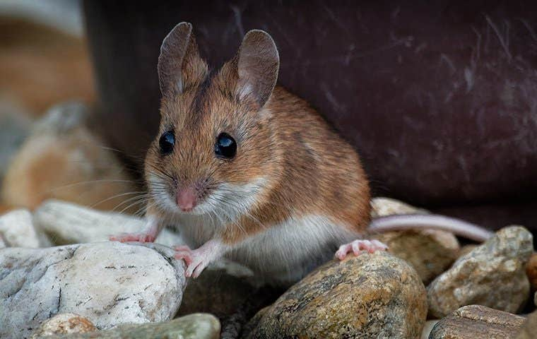a house mouse on rocks