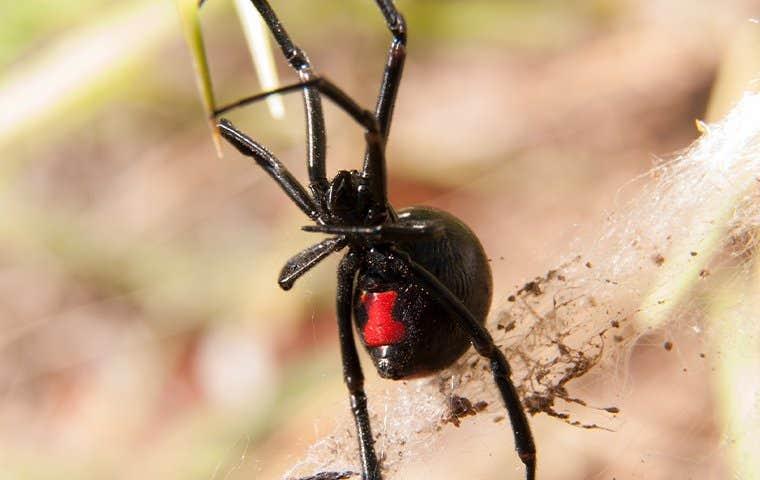 a black widow spider in a web