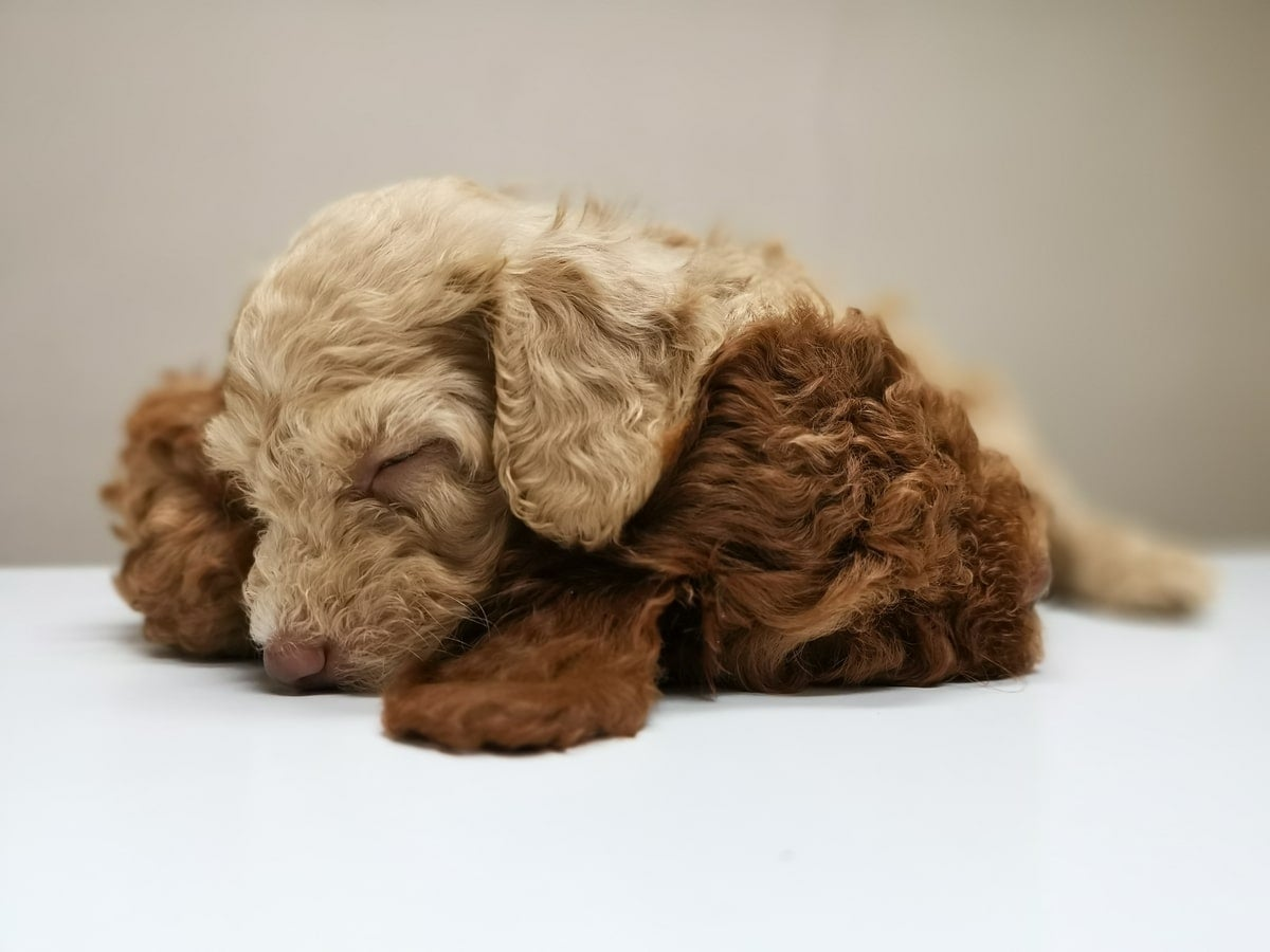 Two puppies asleep together