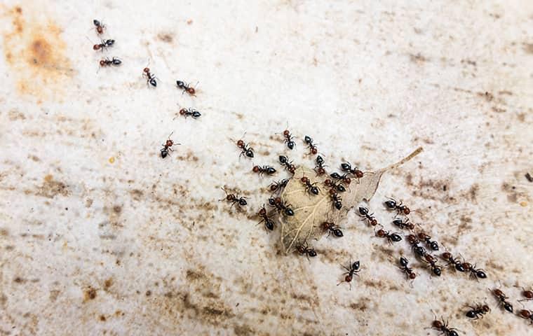 pavement ants on a leaf