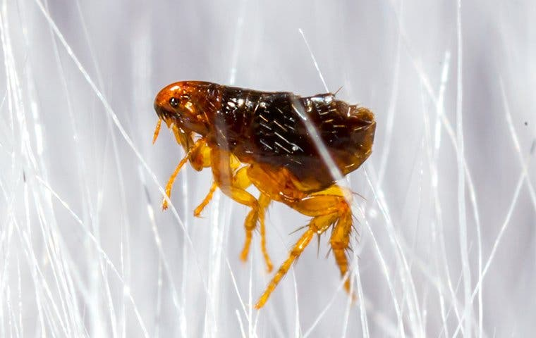 close up view of a flea on a white dog