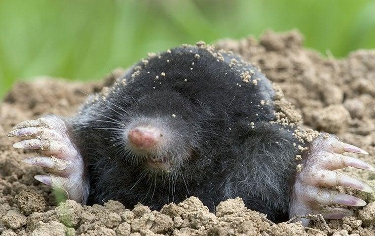 a mole in a burrow in a backyard in st louis