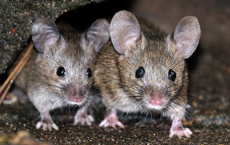 two house mice in a basement