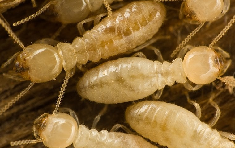 subterranean termites crawling on a st louis property