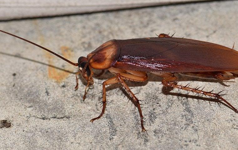 an american cockroach in a basement in st louis