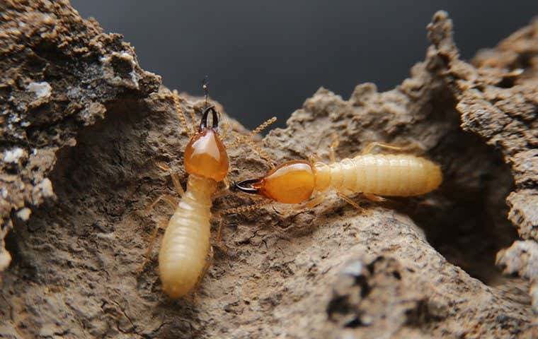 two termites together