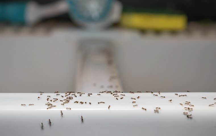 ants on a kitchen sink