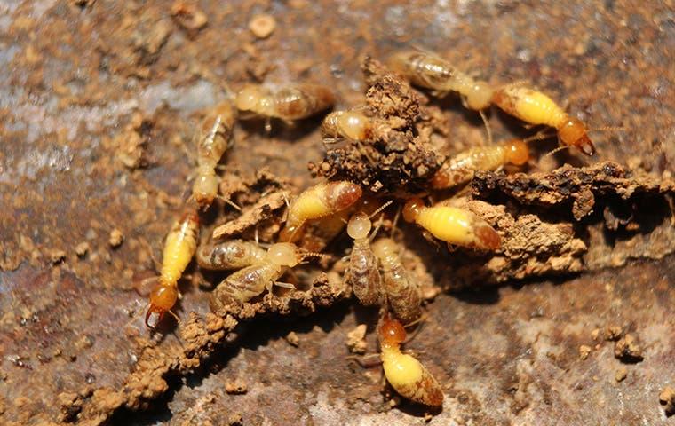 termites crawling on damaged wood