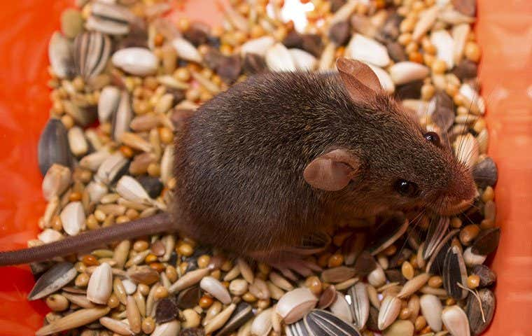 a mouse eating birdseed