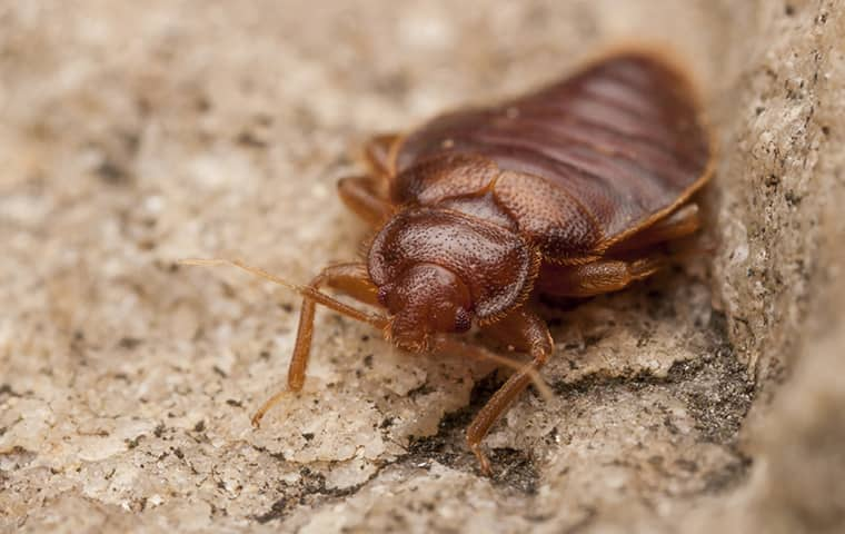 close up view of a bed bug in a bedroom