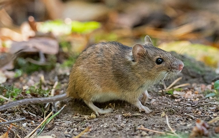 house mouse foraging