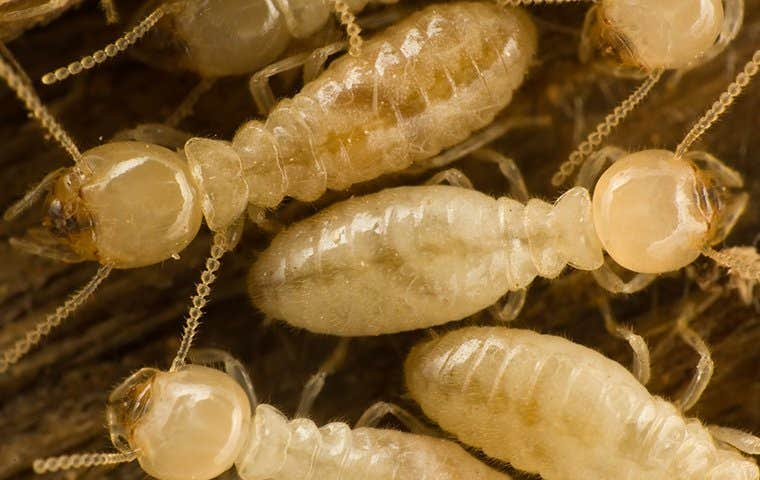 clsoe up of termites in spring texas