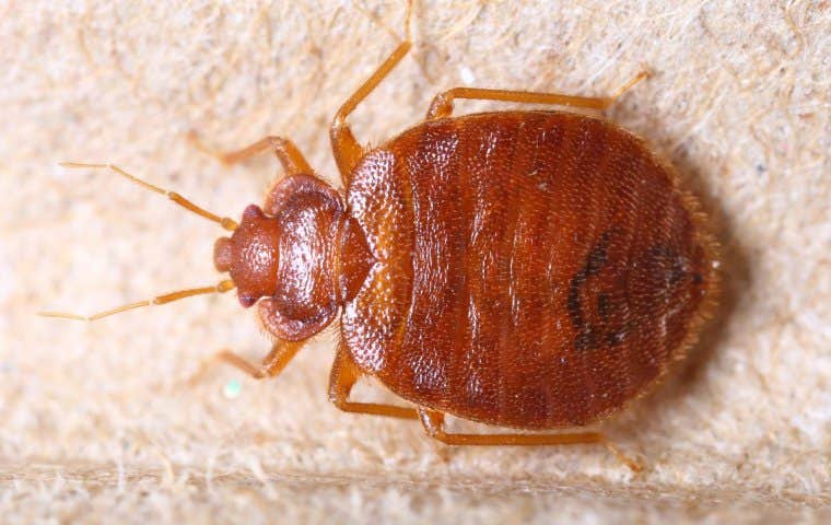 bedbug on box spring in spring texas
