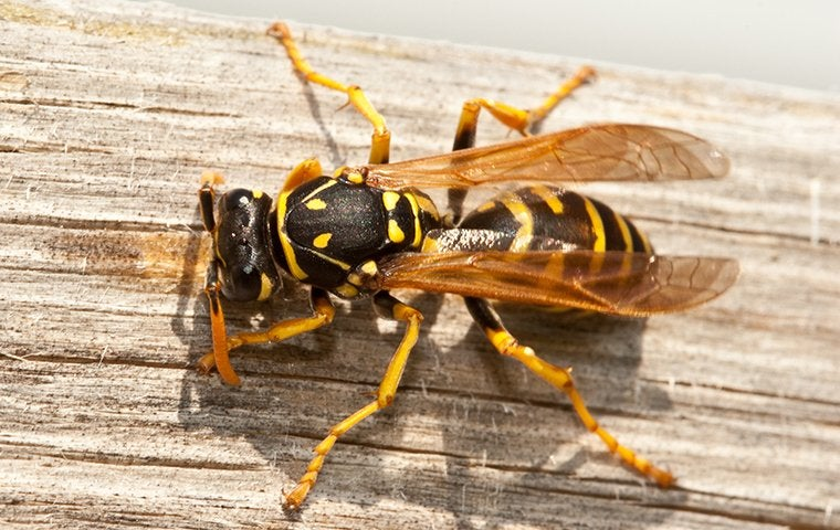 wasp on a piece of wood