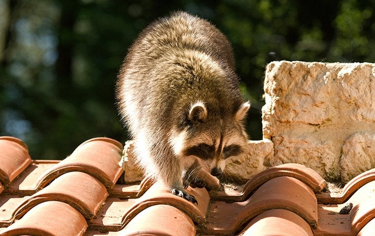 a raccoon on top of a roof
