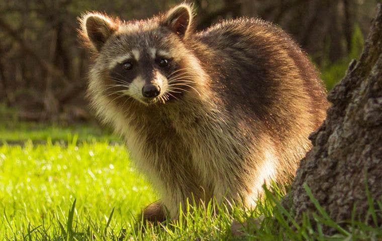 a raccoon peeking in waldorf maryland