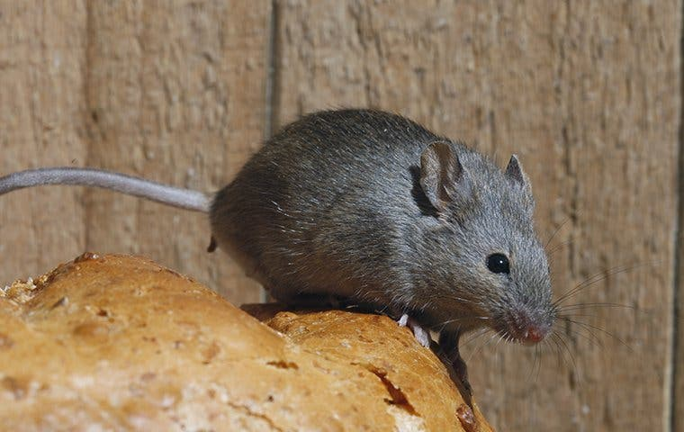 a little house mouse on a loaf of bread
