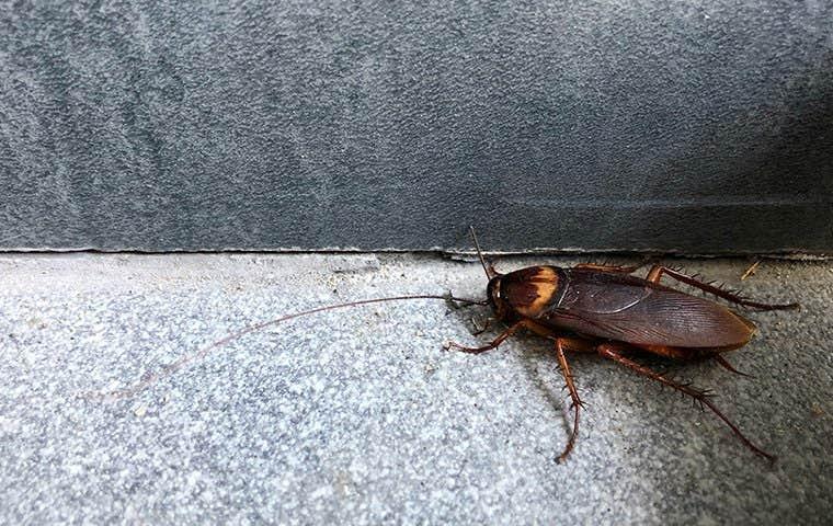 American roach in a basement