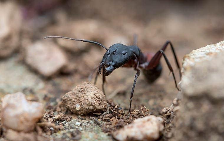 a carpenter ant up close