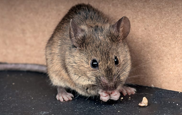 house mouse in a house