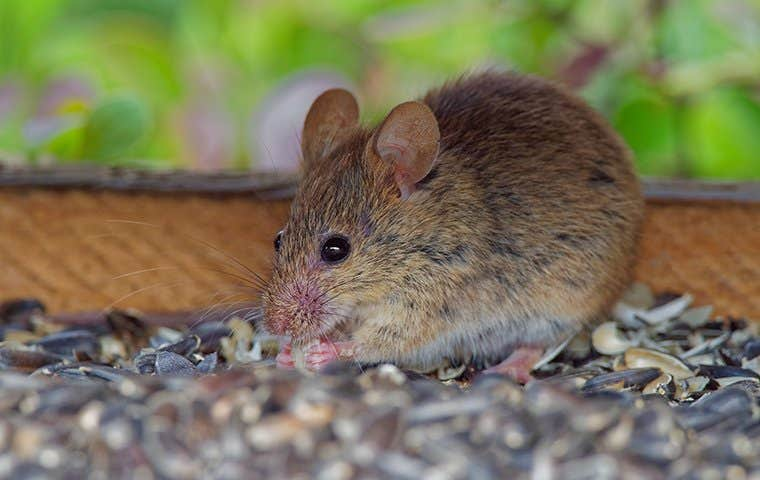 a house mouse eating birdseed