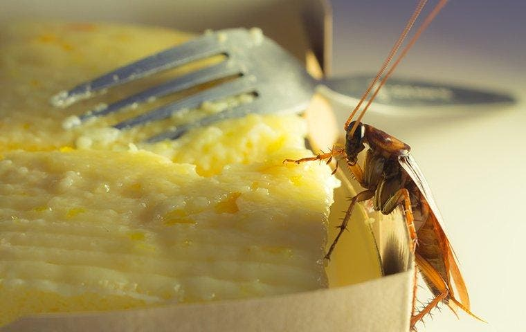 American Cockroach crawling on food in Roosevelt, UT