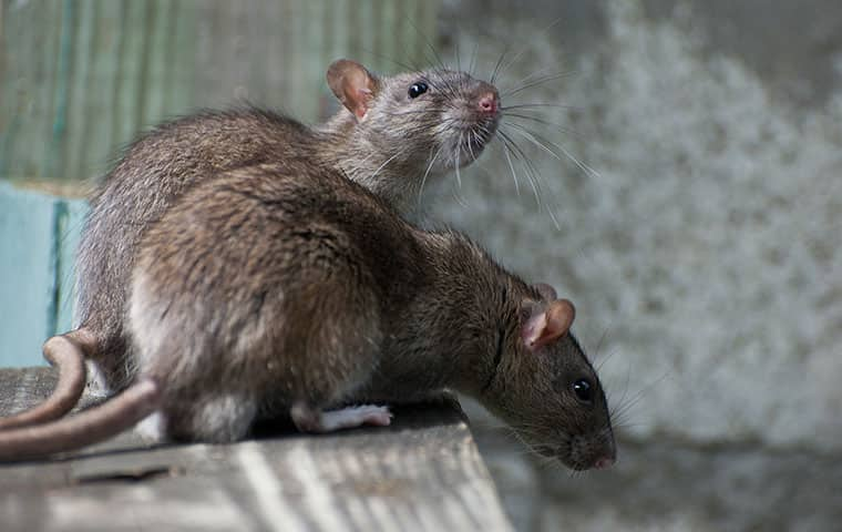 two rodents perched on fencepost