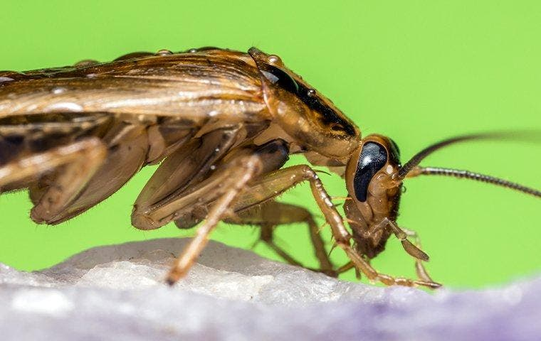 German cockroach crawling on a rock near Roosevelt, UT