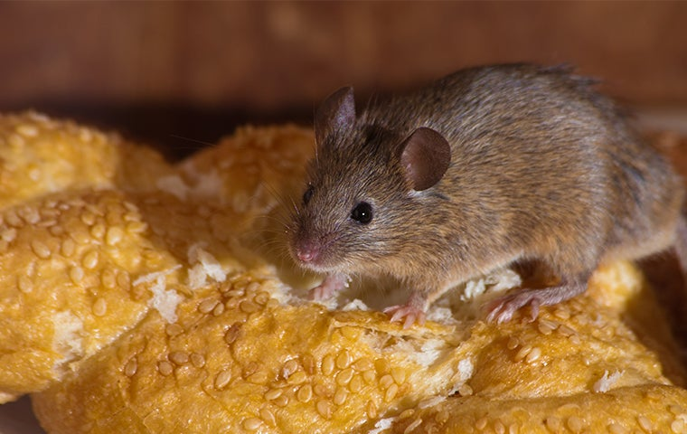 Mouse eating a loaf of bread in Vernal, UT