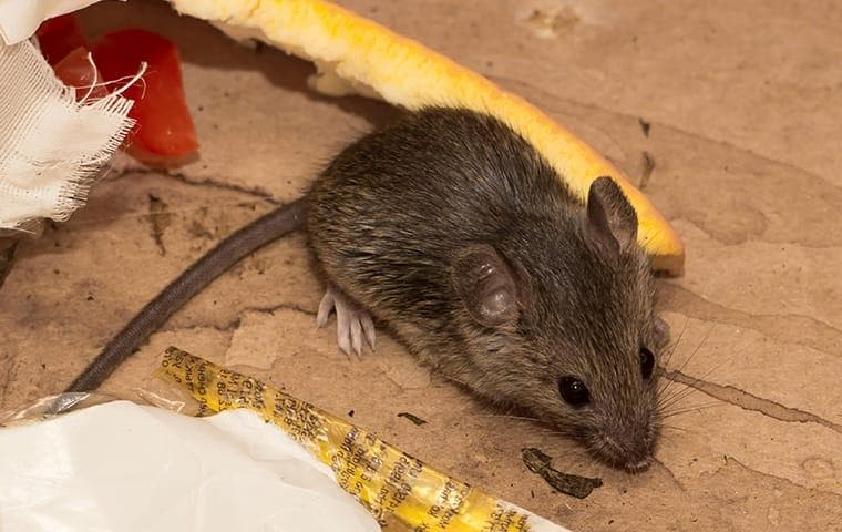 House mouse digging through garbage in Roosevelt, UT