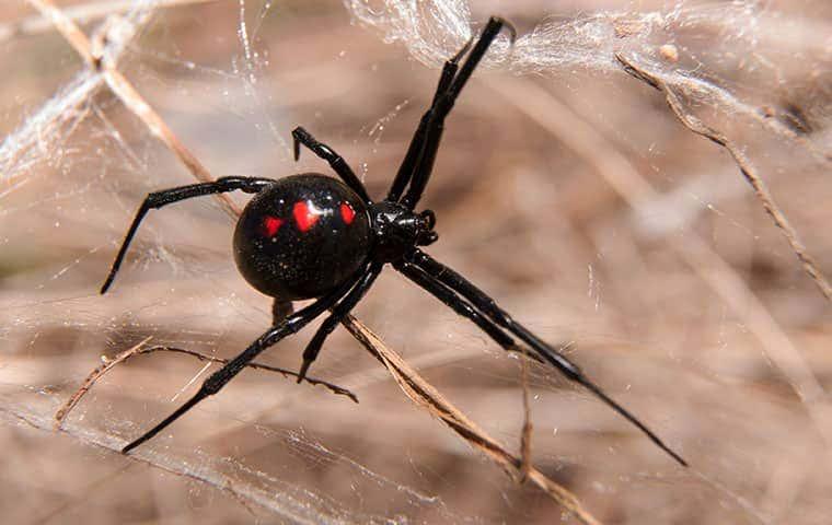 black widow weaving web in sticks