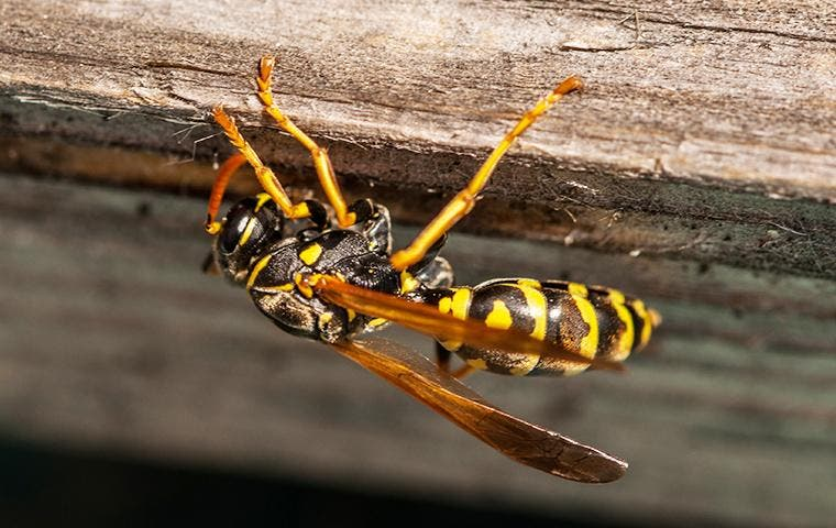 Wasp on home exterior in Vernal, UT