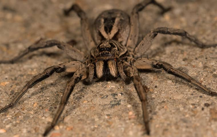 big spider looking directly at camera