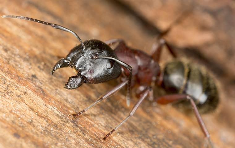Carpenter Ant crawling on wood near Vernal, UT