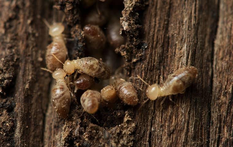 Termites Chewing through wood in Vernal, UT