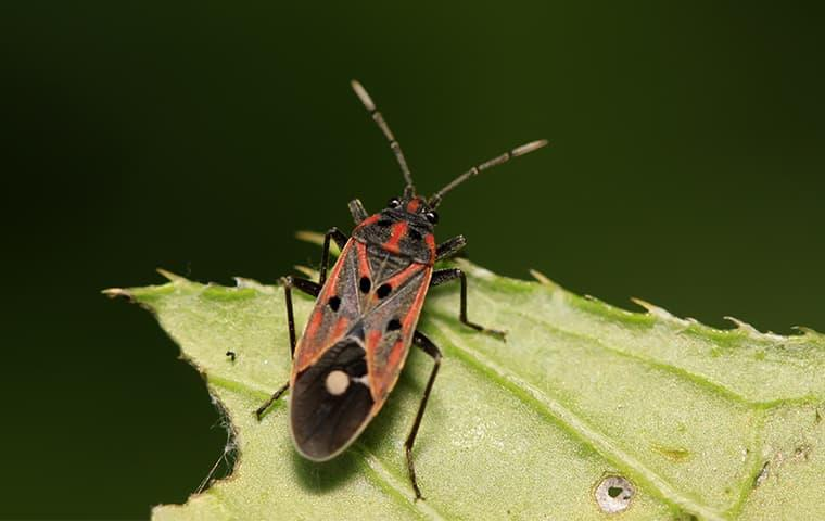 Chinch bug chewing on a leaf in Vernal, UT