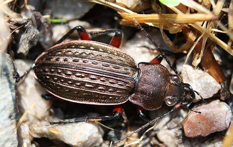 ground beetle on multicolored rocks
