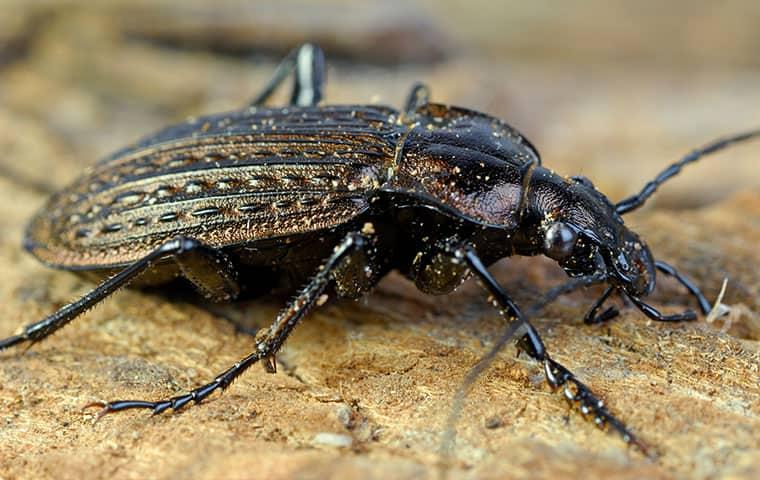 ground beetle standing on rock