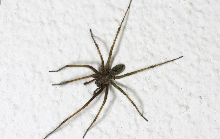 House spider crawling up a wall in a Roosevelt, UT home